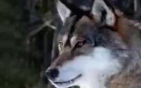 70 Wolves In One Video