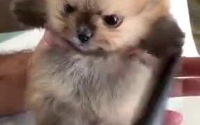 Brushing Up A Pomeranian