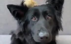 A Duckling On The Dog's Head
