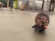 Beaver Refusing A Shopping Cart