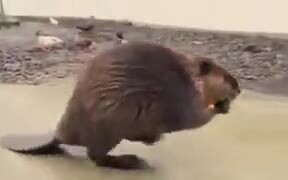 Beaver Refusing A Shopping Cart