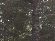 Bear Climbing A Tree Like A Cheetah
