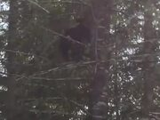 Bear Climbing A Tree Like A Cheetah