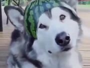 A Watermelon Hat For A Husky