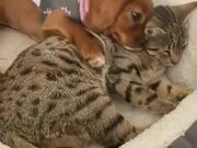 Puppy Cuddling With Mature Cat