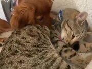 Puppy Cuddling With Mature Cat