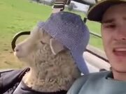 The Coolest Sheep In The World
