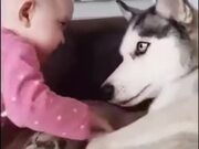 Husky Can't Believe This Kid