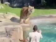 Tiger Playing With A Big Ball
