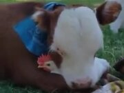 A Friendship Between Cow And Chicken