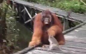 Never Mess With Orangutan's Food