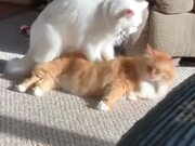 Cat Giving Body Massage To A Cat