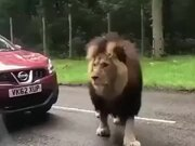 When A Lion Stops The Traffic