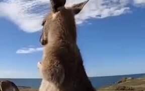 A Kangaroo Enjoying A Self Scratching