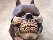 When You Get Your Pitbull A Skull Mask