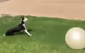 Dog Can't Get Enough Of A Big Ball