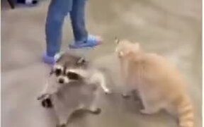 Fat Racoon Loves To Roll