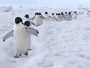 Penguins Actually Walk Like Cartoons