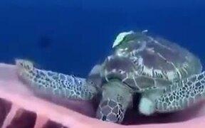 Turtle Yawning Underwater