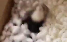 Ferret Enjoying Packing Peanuts