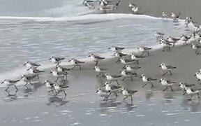 Birds Running Away From The Tide