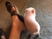 Little Piggy Itching
