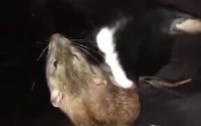 Cat Cleaning A Rat By Licking