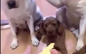 Pet Dogs Blaming Each Other For The Mess