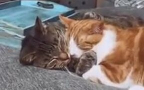 A Lovely Cat Couple Taking Nap Together