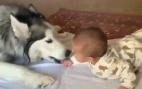 Siberian Husky's Love For Kids
