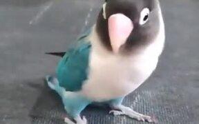 A Tap-Dancing Parakeet