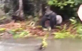 Just A Naughty Gorilla