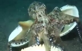 Clever Octopus Uses Shells To Defend