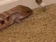 Lizard Playing With The Door Stop