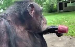 An Ape Calmly Enjoying A Cherry Popsicle