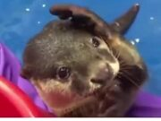 Otter Showing Human How To Pet It
