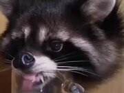 Raccoon Drinking Out Of A Mug