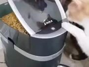 When A Cat Is Too Impatient For Food