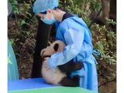 Baby Pandas Are Just Like Human Babies