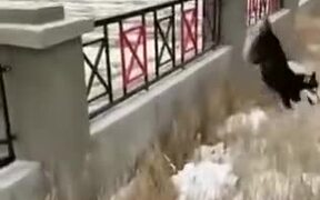 Dog Loves To Jump Through The Fence