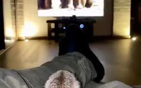 Meerkat Watching Animals On The Screen