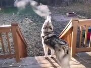 Husky Puppy Exhaling Smoke Into The Air