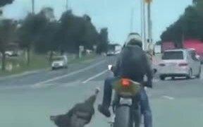 Turkey Attacking Biker On The Road