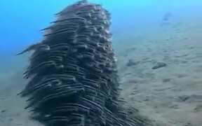A Team Of Mustached Eel Fish