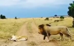 When A Lion Tried To Mess With The Wife