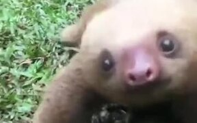 Baby Sloth Is Not That Slow