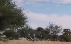 Lioness Jumping On Man's Head