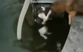 Good Dog Rescuing A Cat From Drowning