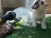 Corgi Loves To Play With Water