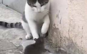 Rat Bossing A Cat And Eating Its Food